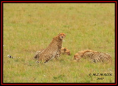 FEMALE CHEETAH WITH HER CUBS (Acinonyx jubatus).....MASAI MARA....SEPT 2017. (M Z Malik) Tags: nikon d3x 200400mm14afs kenya africa safari wildlife masaimara keekoroklodge exoticafricanwildlife exoticafricancats flickrbigcats cheetah cheetahfamily acinonyxjubatus ngc npc