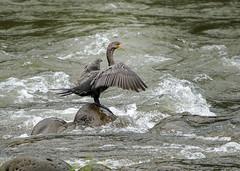 20190613 Tropical Cormorant (rudygarns) Tags: jun13 costarica