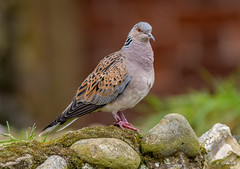 JWL0042  Turtle Dove... (Jeff Lack Wildlife&Nature) Tags: turtledove dove doves birds bird avian animal animals wildlife wildbirds wetlands woodlands wildlifephotography jefflackphotography trees woodland farmland forest forests forestry fields grasslands countryside summermigrant nature