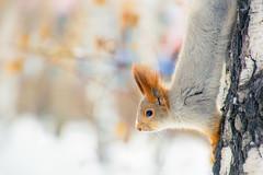 Winter squirrel (marussia1205) Tags: winter squirrel белка зима