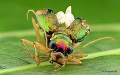 Tiger Beetle, Tetracha sp., Carabidae (Ecuador Megadiverso) Tags: ecuador colorful metallic beetle tigerbeetle coleoptera focusstack carabidae andreaskay tetrachasp