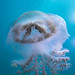 Jellyfish Blairgowrie-2