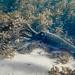 Giant Cuttlefish Blairgowrie-13