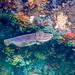 Giant Cuttlefish Blairgowrie-6