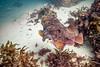 Giant Cuttlefish Blairgowrie-3