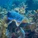Giant Cuttlefish Blairgowrie-15