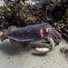Giant Cuttlefish Blairgowrie-12