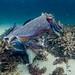 Giant Cuttlefish Blairgowrie-11