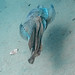 Giant Cuttlefish Blairgowrie-9