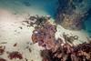 Giant Cuttlefish Blairgowrie-4