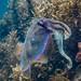 Giant Cuttlefish Blairgowrie-14