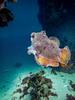 Giant Cuttlefish Blairgowrie-5