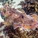 Giant Cuttlefish Blairgowrie-2