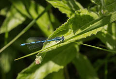 Azure Damselfly (catb -) Tags: kildare ireland insect damselfly nature