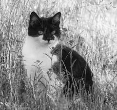 Batman (aixcracker) Tags: cat katt kissa animal djur eläin pet käldjur lemmikki loviisa lovisa suomi finland nikond500 june juni kesäkuu summer sommar kesä