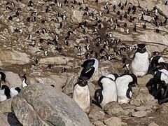 New Island (Buster&Bubby) Tags: newisland falklandislands rockhopperpenguin blackbrowedalbatross