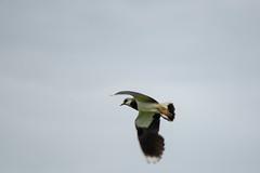 Lapwing (alasdair massie) Tags: bird burnhamoverystaithe lapwing wild brancaster norfolk