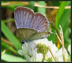 IMG_0564 Taking a Bubble Bath 6-17-19 (arkansas traveler) Tags: butterfly easterntailed blue nature naturewatcher natureartphotography zoom telephoto bokeh bokehlcious