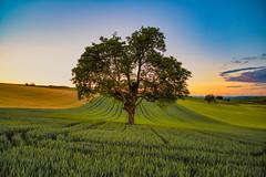 Wendelsheim (koehntopp) Tags: anyvision labels naturalenvironment naturallandscape pasture field grass grassland green morning nature plain sky tree wendelsheim rheinlandpfalz deutschland