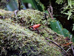 Poison Dart Frog, Tortuguero (Mulligan Stu) Tags: costarica aposematic poisonousfrog poisondartfrog