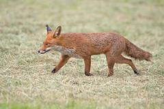 Red Fox (drbut) Tags: redfox vulpesvulpes carnivora mamal animal farmland countryside wildlife nature