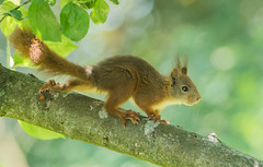 Red Squirrel (Wouter's Wildlife Photography) Tags: redsquirrel squirrel animal mammal rodent gardenvisitor garden sciurusvulgaris sping nature naturephotography wildlife wildlifephotography billund