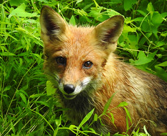 Red Fox in the Grass (annette.allor) Tags: vulpes red fox mr tod grasses closeup nature wildlife