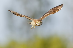Eye to eye (just4memike) Tags: animal bird blurredbackground burrowing cute eye feather nature owl owlet predator raptor talon wildlife wing