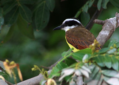 costa rica (BTMurphy) Tags: costarica birdportrait bird