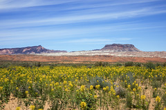 Desert colors (Jeff Mitton) Tags: capitolreefnationalpark cathedralvalley desert mesa sanddunes yellowbeeplant yellowspiderflower nationalpark wildflower landscape utah coloradoplateau redrockcountry