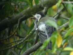 Great Tit Scratches  - aaah (river crane sanctuary) Tags: greattit rivercranesanctuary bird nature wildlife