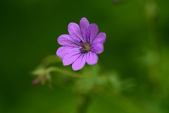 Mittwochsmakro...no edit (Tonny Christensen) Tags: mittwochsmakro sigma105mmf28 nikond750 geranium storkenæb wildflowers