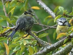 Blue Tits Preen (river crane sanctuary) Tags: bluetits rivercranesanctuary nature wildlife