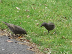 Starlings Feed (river crane sanctuary) Tags: starlings birds rivercranesanctuary wildlife