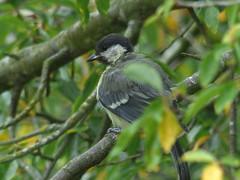 Great Tit Rests (river crane sanctuary) Tags: greattit rivercranesanctuary bird nature wildlife