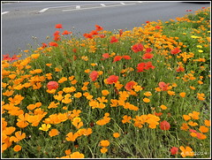 Wild Flowers Beside the Road at Hadleigh Suffolk (Alan B Thompson) Tags: 2019 june flower suffolk lumix fz82 picassa