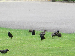 Local Neighbours (river crane sanctuary) Tags: starlings wildlife rivercranesanctuary birds nature