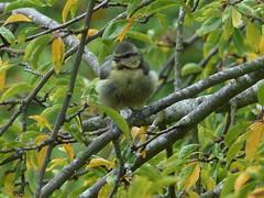 Bluetit in the Plum Tree (river crane sanctuary) Tags: bluetit rivercranesanctuary bird nature wildlife