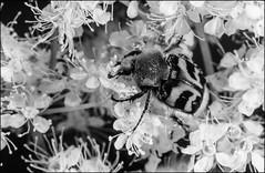 DR110412_074Ab (dmitryzhkov) Tags: life moscow russia wildlife documentary reproduction selection caterpillar insect macro closeup macrophotography nature bw blackandwhite monochrome dmitryryzhkov beetle coleoptera beetles analog film beetselect biosphere