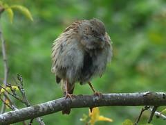 Fluffy Dunnock (river crane sanctuary) Tags: dunnock rivercranesanctuary bird nature wildlife