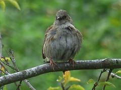 Dunnock Rests (river crane sanctuary) Tags: dunnock bird wildlife nature rivercranesanctuary