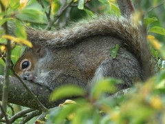 Squirrel Curled Up (river crane sanctuary) Tags: squirrel rivercranesanctuary nature wildlife