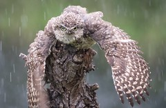 Burrowing Owl takeling a shower (Paul van Agthoven) Tags: animals rain nature explore zoom 100400 canon topvogel owl birds