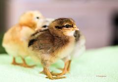 Hühnerküken ganz frisch geschlüpft... (petra.foto busy busy busy) Tags: huhn hühner küken hühnerküken landwirtschaft tiere nature natur fotopetra canon eosrp