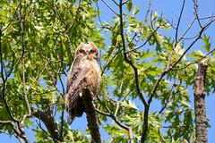 Great Horned Owl (Juv.) (JDA-Wildlife) Tags: birds birdsofprey raptors nikon nikond7100 tamronsp150600mmf563divc jdawildlife johnny portrait eyecontact owls owlgreathornedowl greathornedowl wow