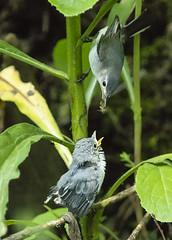 Blue-gray Gnatcatcher Fledgling with Female_2 (Thomas Muir) Tags: polioptilacaerulea feeding fledgling caterpillars woodcounty perrysburg ohio nikon 200400mm animal bird birdwatching outdoor d850 spring