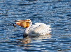 Look Ma...no hands! (edmason88) Tags: pelican eating food nohands tamron150600 strathconacounty alberta xanada