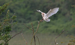 Barn Owl, landing with prey (KHR Images) Tags: barnowl barn owl tytoalba wild bird birdofprey landing withprey cambridgeshire fens wildlife nature nikon d500 kevinrobson khrimages