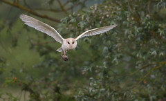 Barn Owl (with prey) (KHR Images) Tags: barnowl barn owl tytoalba wild bird birdofprey withprey withvole cambridgeshire fens wildlife nature nikon d500 kevinrobson khrimages