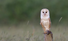 Barn Owl (1 of 4) (KHR Images) Tags: barnowl barn owl tytoalba wild bird birdofprey perched post withprey withvole cambridgeshire fens wildlife nature nikon d500 kevinrobson khrimages
